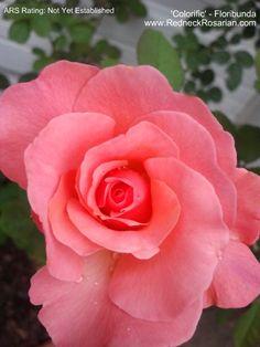 New Rose In My Garden – 'Colorific' Floribunda   The Redneck Rosarian