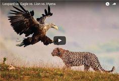 Leopard vs. Eagle vs. Lion vs. Hyena | SK4News (Srok Khmer For News)