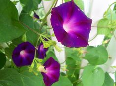 Maybe a morning glory & vine tattoo, with some of the twisted looking buds; in purple and pink.