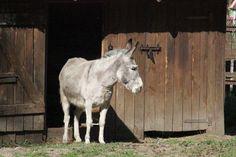 Our donkey / Nasz osiołek