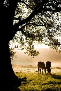 Tv� h�star st�endes under ett tr�d en tidig morgon i Sk�ne.