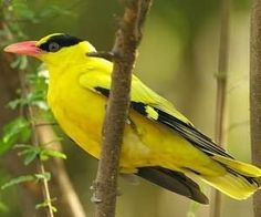 導讀:黃鸝鳥又稱黃鶯或金衣公子。分佈在中國東北、內蒙古、華北四川等地,營巢繁殖,為春候鳥,分佈在台灣和海南島則為留鳥。黃鸝鳥飼料主要是玉米麵、麵粉蟲、水果和維生素。如果是新捉來的鳥很難適應人工飼料,如何正確餵養一起來了解。