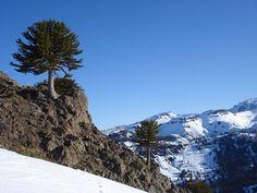 Araucarias del sur de Chile