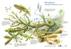 Sleutelrol van rivierhout in de natuur. Tekening: Jeroen Helmer