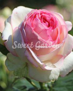 Eden Rose, Sweet, Garden, Plants, Sun, Candy, Garten, Lawn And Garden, Gardens
