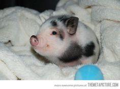 TEA CUP PIG!!!!!!
