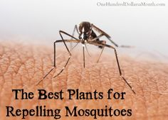 We& all had a really itchy mosquito bite. Here& a list of natural home remedies for mosquito bites that can put a stop to the itchiness and smelliness. Home Remedies For Mosquito, Natural Home Remedies, Repelir Mosquitos, Virus Del Zika, Bites And Stings, Mosquito Repelling Plants, Salud Natural, Insect Bites, Insect Repellent