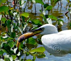 A Great Egret found food .... Hurry  Hurry flew away .....
