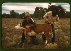 Rodeo, tying ribbon on calf's tail, New Mexico, 1939