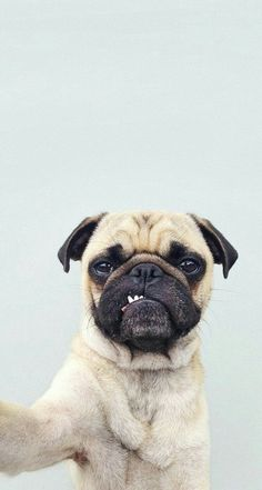 Pin by yeşi̇m on a n i m e l pug wallpaper, dog wallpaper iphone, animal wal Dog Wallpaper Iphone, Animal Wallpaper, Bubbles Wallpaper, Dog Photos, Dog Pictures, Funny Photos, Cute Baby Animals, Funny Animals, Sweet Dogs