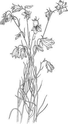 Bluebell by jeannie foord decorative flower studies series image result for bluebells black and white mightylinksfo