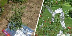 Το Αλουμινόχαρτο Διώχνει Έντομα & Εχθρούς – 7 Έξυπνες Χρήσεις του Αλουμινόχαρτου στον Κήπο