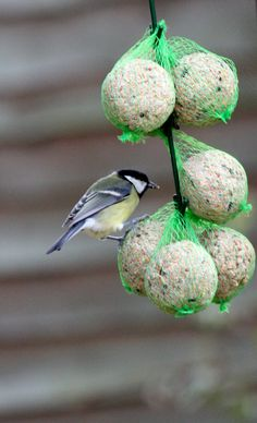 Visitor in the garden garden for breakfast! Suet and seeds formed into balls, perfect to lure visitors...