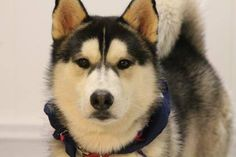 NAME: Falcon  ANIMAL ID: 25224969  BREED: Husky  SEX: male  EST. AGE: 2 yr  Est Weight: 54 lbs  Health: heartworm neg  Temperament: dog friendly, people friendly.  ADDITIONAL INFO: RESCUE PULL FEE: $49  Intake date: 3/23  Available: 3/29