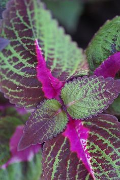 Houseplants That Filter the Air We Breathe Coleus Shade Garden Plants, Hosta Plants, Sun Plants, Blooming Plants, Foliage Plants, Exotic Plants, Tropical Plants, Houseplants, Outdoor Landscaping