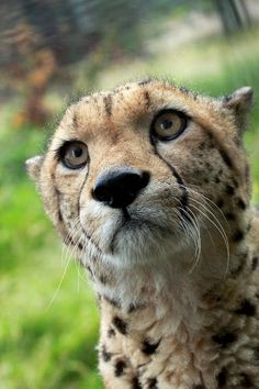 It is said that Cheetahs get their black tear-like lines from crying. bc they don't fit into the cat world & they don't fit into the dog world :'( aww! [Cheetah by BloodLustInsanity] Animals And Pets, Baby Animals, Cute Animals, I Love Cats, Big Cats, Beautiful Cats, Animals Beautiful, Gato Grande, Exotic Cats