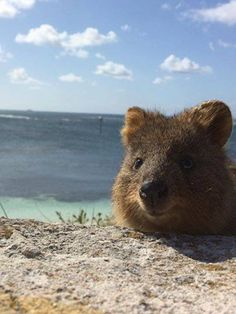 Foto: Hello there.....   #Quokkas #RottnestIsland #Australia #cuteanimals #