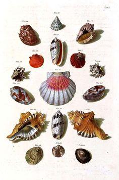 Vintage sea shell prints