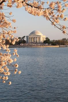 Thanks to a gift from the mayor of Tokyo in 1912, Washington DC has been home to thousands of cherry trees for more than 100 years. Read on for the best ways to see the US capital in full bloom!