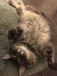 My rescued Maine Coon floof. His name is Moonshine.