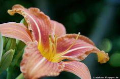 Taglilie / Feuerlilie ~ Day lily