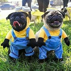 """""""We're #Minions in training."""" www.jointhepugs.com/ #pug #pugpower #pugsnotdrugs #puglife #puglove #mops #cuteness #puglover #dogs"""