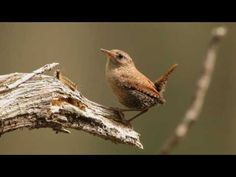 Winter Wren Portrait  (one of my favourite birds!) Have a pair nesting in my yard every year. Lovely song!