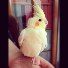 #ShareIG just chilling くつろぐるびー #love #lovely #cute #adorable #beautiful #pretty #yellow #cockatiels #cockatiel #cockatielsofinstagram #birds #bird #birdsofinstagram #parrots #parrot #cockatoo #cockatoos