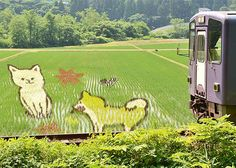 秋田魁新報社認証済みアカウント @sakigake  かわいい秋田犬くっきり、内陸線沿線 田んぼアートが見頃