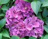 flowers for flower lovers.: Hydrangea flowers pictures.
