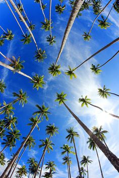 palm trees that lined neatly on the edge of the beach town Waisai Tourist Information, Blue Clouds, Beach Town, Palm Trees, Asia, Palms, Islands, Green, Coconut