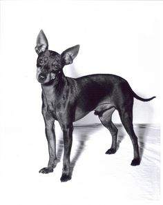 TOY MANCHESTER TERRIER SHOW DOG VINTAGE PHOTOGRAPH 8x10