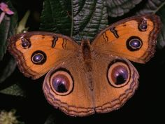 The peacock pansy butterfly (Junionia almana)