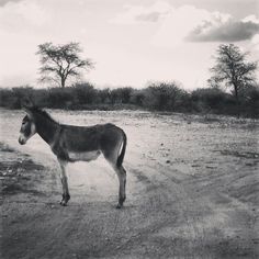 Donkey in the streets of Deben South Africa