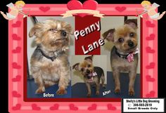 Such a sweety little Penny Lane! She was in need of a clean up and got a winter hairdo. :)