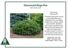 Pinus-mugo-Slowmound