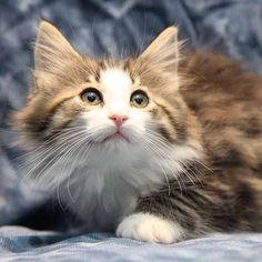 Norwegian forest cat (Borealis Whitney)