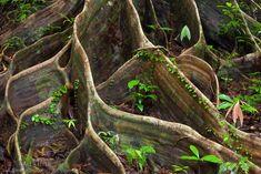 Rainforest Plants Danum valley, sabah, borneo,