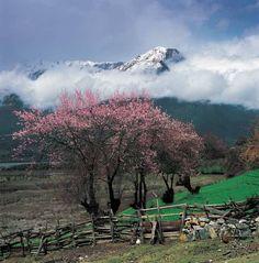 photos of Tibet   Peach Blossom Festival of Tibet by Laura (46)