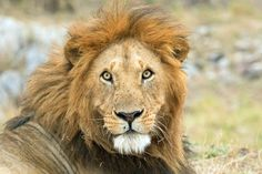 """""""Messy Hair, Don't Care"""" by Lisa Hagan: We watched this male lion wake up and begin grooming activities. His mane had all types of savannah debris such as sticks, leaves and the odd pieces of grass."""