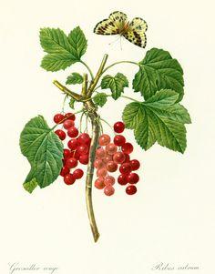 Groseiller rouge P.J REDOUTE Ribes rubrum Botanique Fleurs Fruits Decor Maison Rustique Decoration Murale Vintage