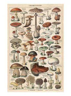 scientific illustration fungi: Fairies love & hang out where mushroom circles or semi circles are found! Mushroom Drawing, Mushroom Art, Mushroom Fungi, Mushroom Guide, Mushroom Species, Mushroom Hunting, Illustration Botanique, Illustration Art, Vintage Botanical Illustration