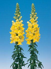 Snapdragon: Yellow