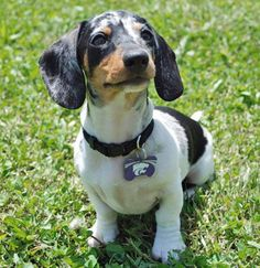 """Get terrific recommendations on """"dachshund puppies"""". They are actually on call for you on our site. Piebald Dachshund, Dachshund Funny, Dachshund Quotes, Dachshund Puppies, Dachshund Love, Daschund, I Love Dogs, Cute Dogs, Clever Dog"""