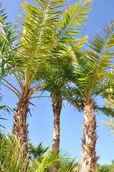Phoenix reclinata Phoenix, Plants, Bamboo, Plant, Planets