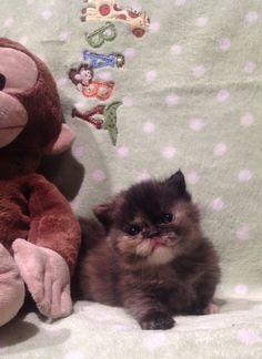 TORTE Napolian MUNCHKIN KITTEN  Cats with little midget legs!!!
