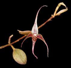 Miniature-orchid / Micro-orquidea: Brachionidium hirtzii