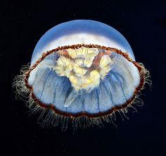 La extraña belleza de las medusas. Alexander Semenov