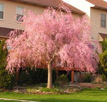Pink Weeping Cherry Tree Small Ornamental Trees Plants Flowering