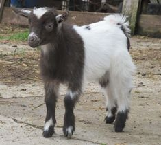 Raising goats as pets is very interesting and pleasuring. Goats are absolutely awesome as pets. They offer good companionship to you and as well as some of your four legged farm animals.